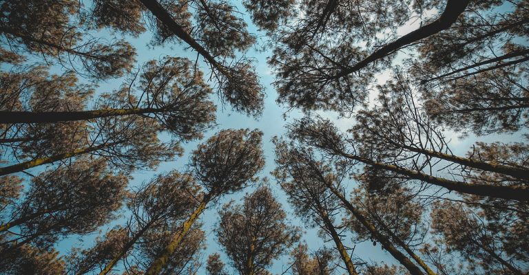 Landes pine forest